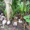 Taip dygsta nauji kokosai