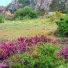 Laukinės levandos nuspalvina salą violetine spalva