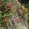 Vienuolyno rožynai