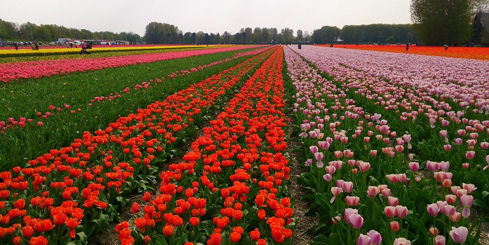 Tulpių laukai