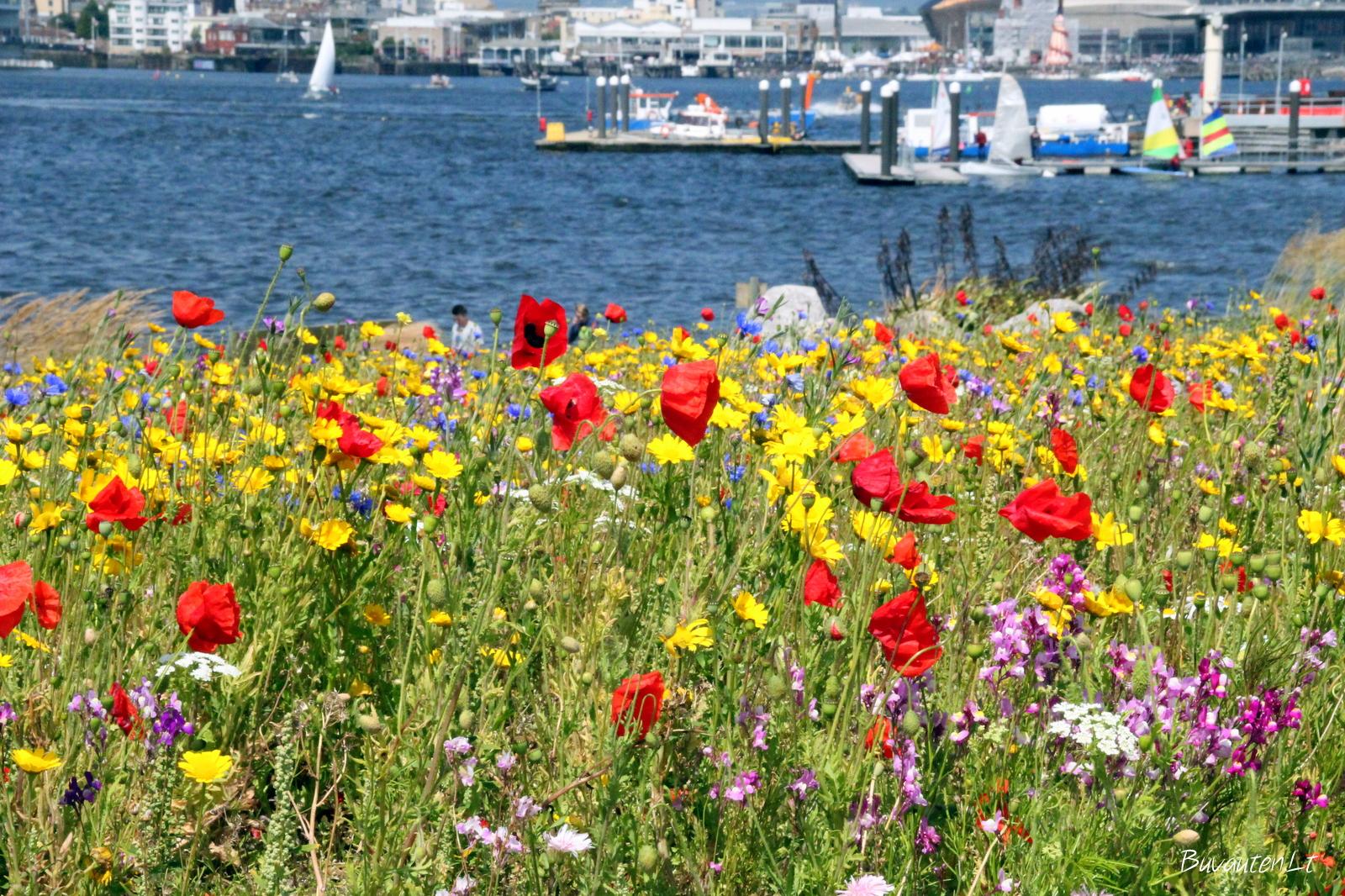 Laukinių gėlių pieva ir Kardifo įlanka