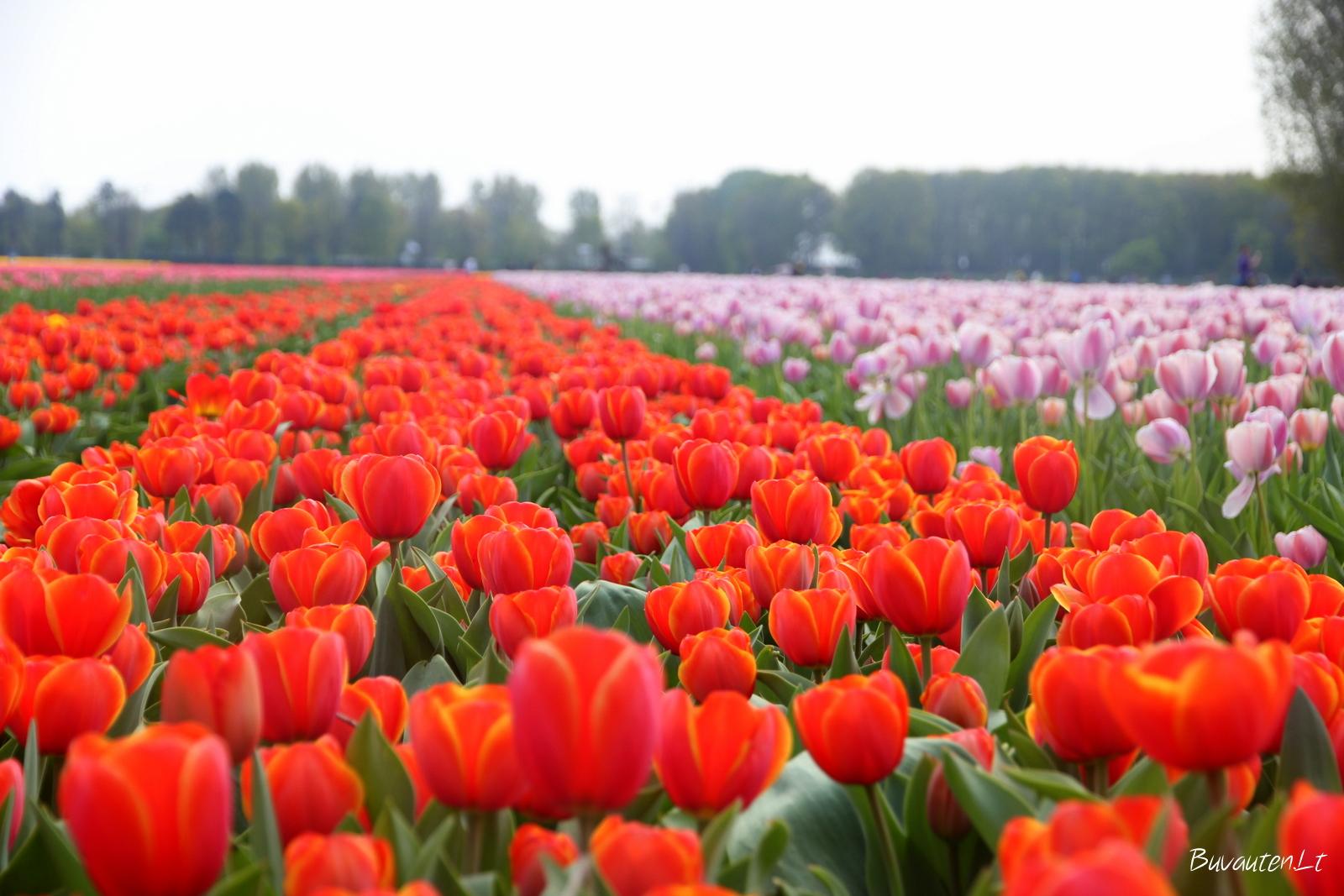 Tulpių laukai netoli Kaukenhofo parko